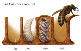 Image result for bee biology