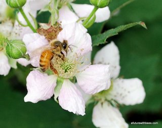 Pollinating worker bee foraging on blackberry blooms.
