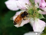 Blackberry forager bee