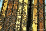 Inside view of the frames of a hive