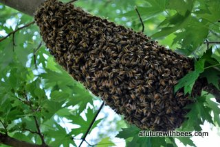 medium honey bee swarm on tree limb