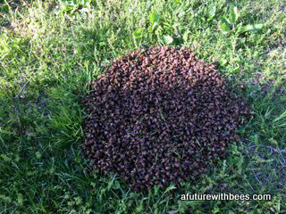 Honey bee swarm on the ground