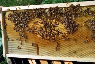 Picture xx:  A typical, partially drawn frame in about week 3.  There is a small patch of sealed brood in the center.  It is surrounded by open larval brood that has not been sealed yet.  The queen is laying in the cells as fast as the workers can build them!
