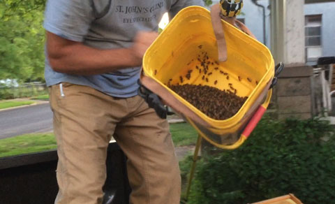 Swarm caught using a pole & bucket