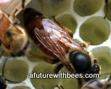 Queen honeybee on comb