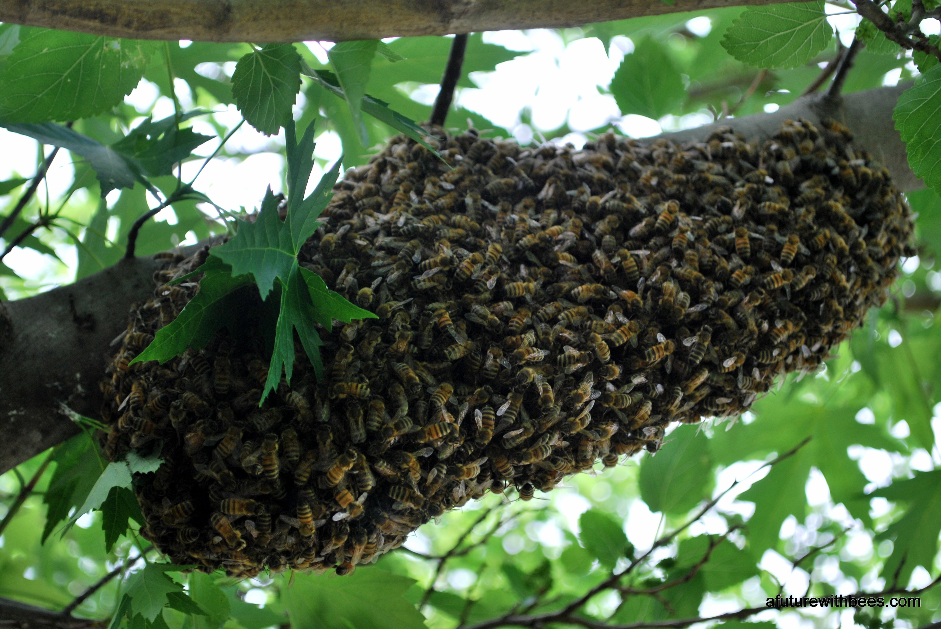 walnut st swarm