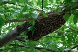 Tree with honeybee swarm